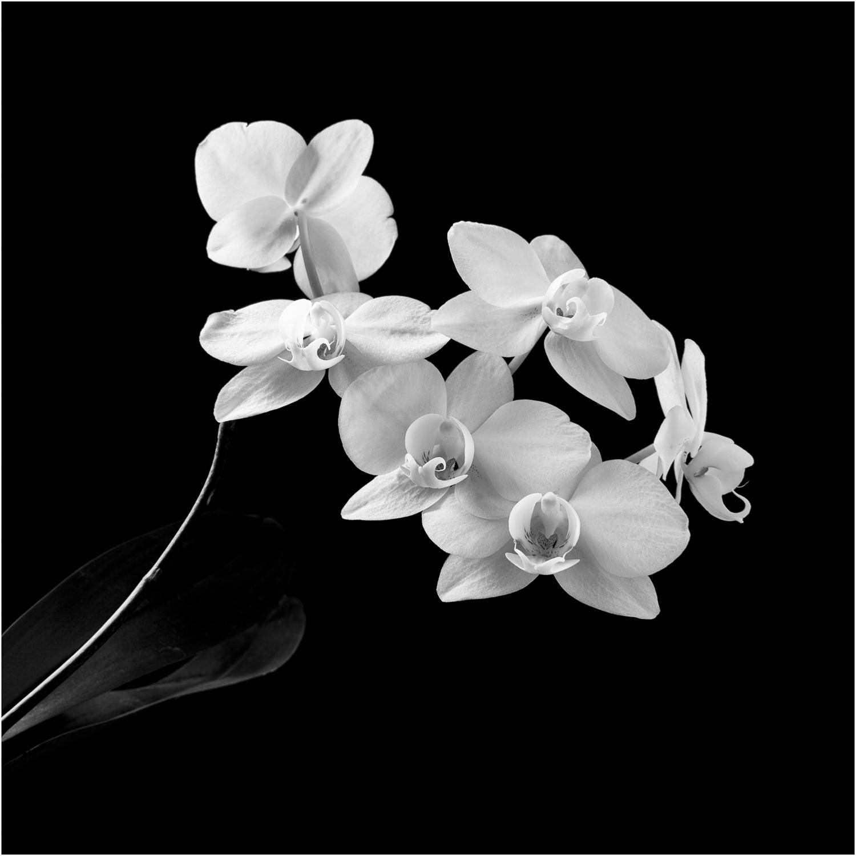 Orchid After Robert Mapplethorpe